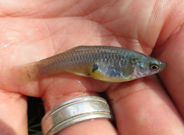 Western Mosquitofish_7051
