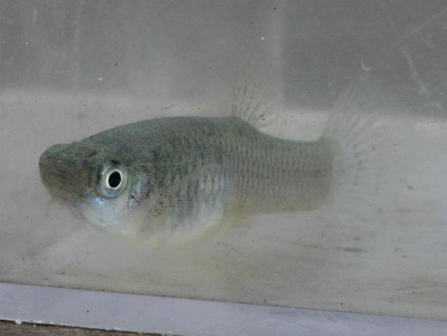 Western Mosquitofish_7522