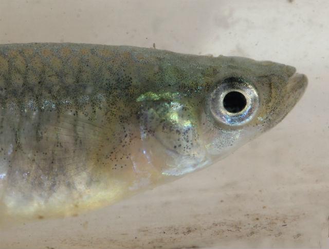 Western Mosquitofish_7525