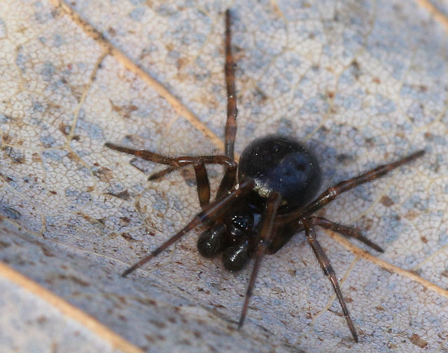 false black widow_8774