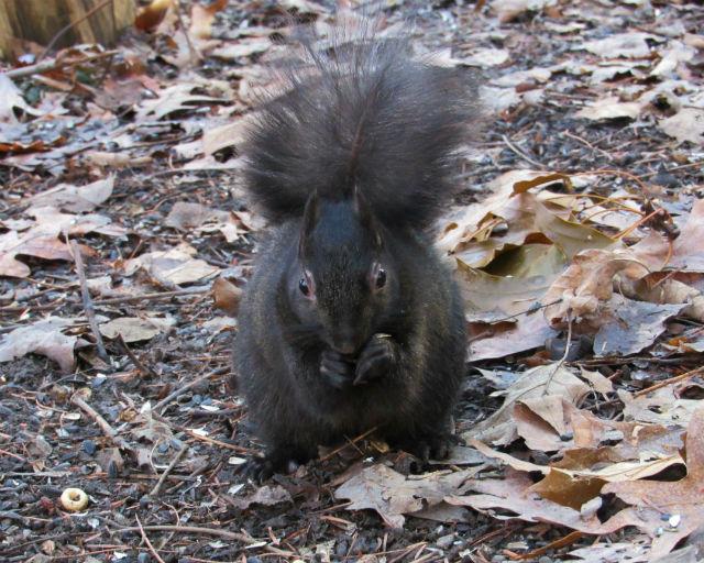 Melanistic Eastern Gray Squirrel_0205