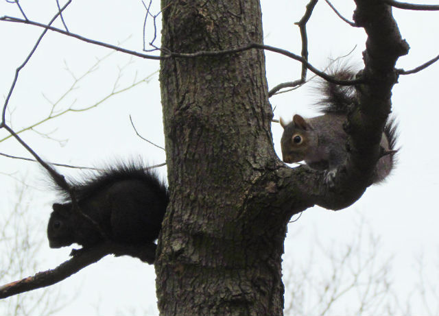 Melanistic Eastern Gray Squirrel_1243