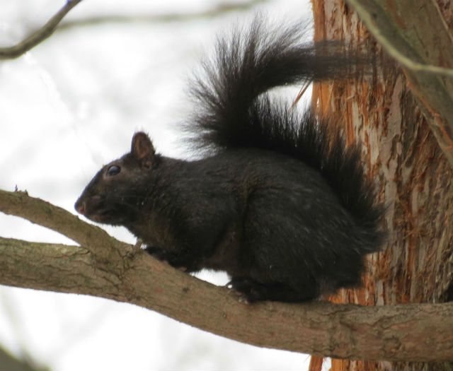 Melanistic Eastern Gray Squirrel_8915