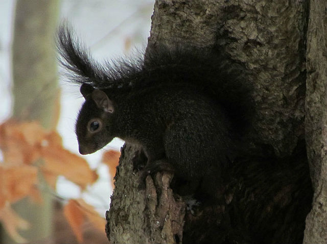 Melanistic Eastern Gray Squirrel_9641
