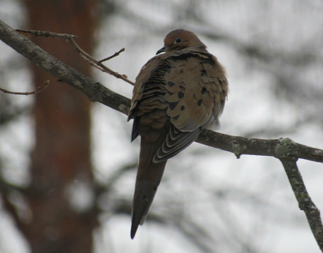 Mourning Dove_0355
