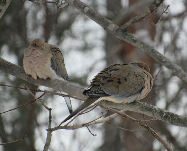 Mourning Dove_0357