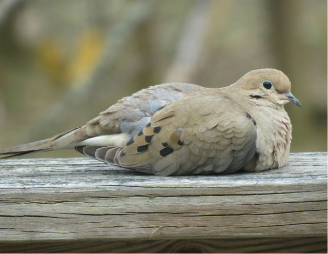 Mourning Dove_9405