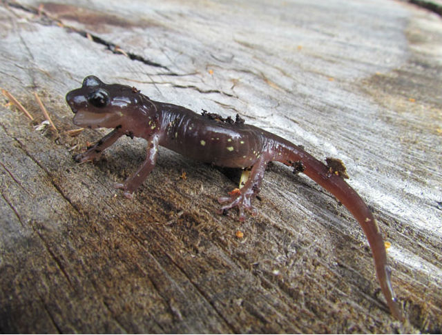 Arboreal Salamander_5934