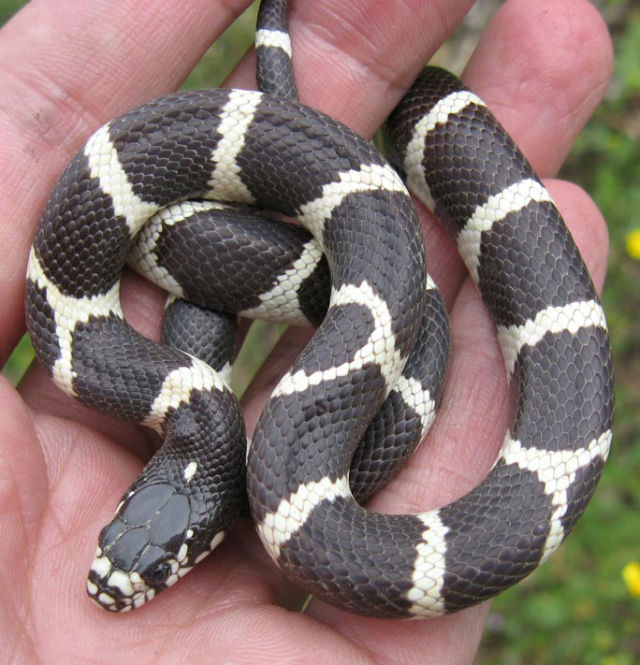 California Kingsnake 6742