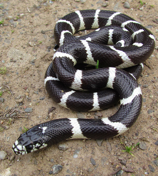 California Kingsnake_1864