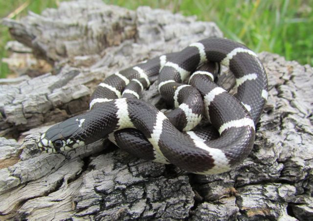 California Kingsnake_1875
