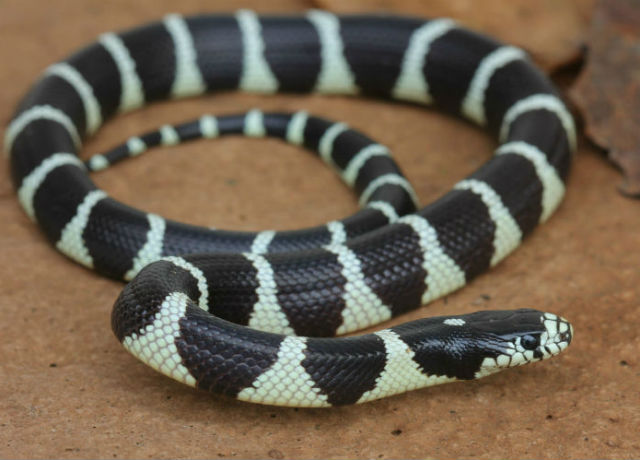 California Kingsnake_5147