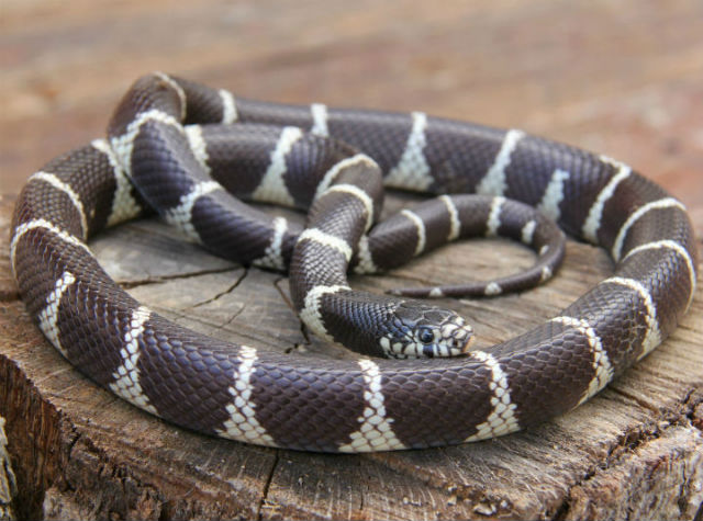 California Kingsnake_9449