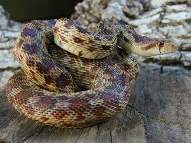 Pacific Gopher Snake_9323