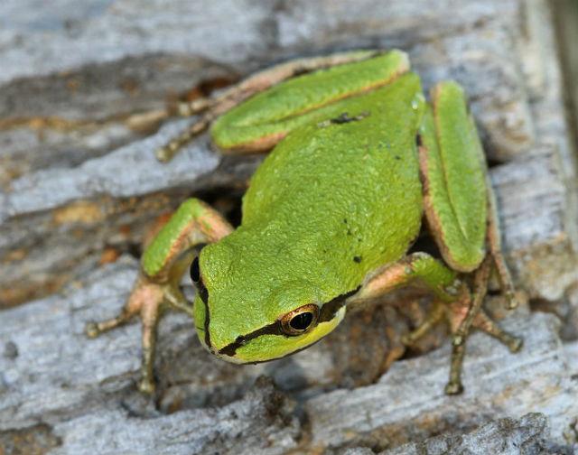 Sierran Treefrog 0054