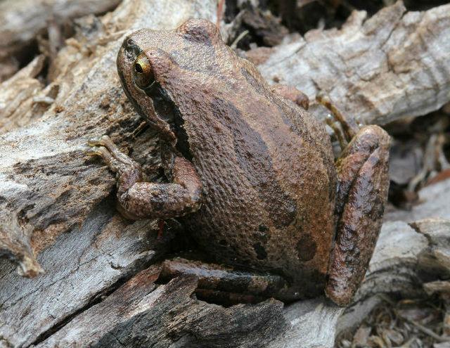 Sierran Treefrog 20101