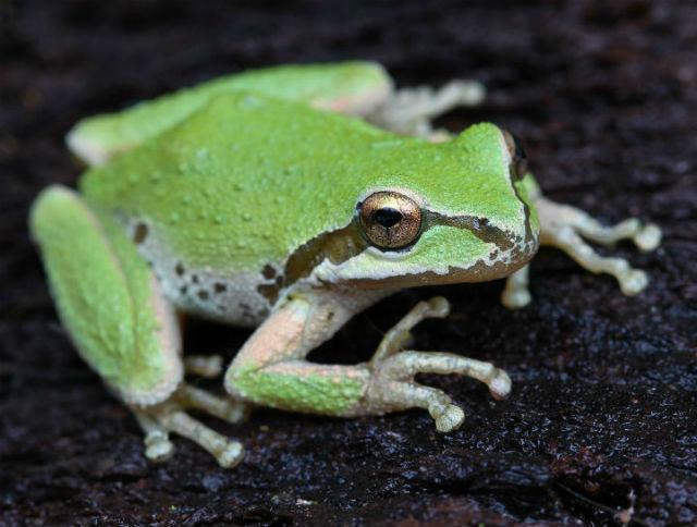 Sierran Treefrog _5010