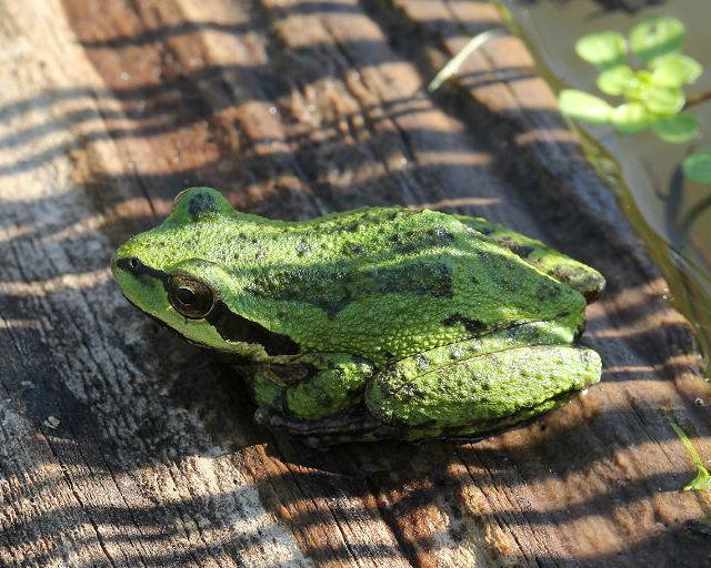 sierran treefrog 20041