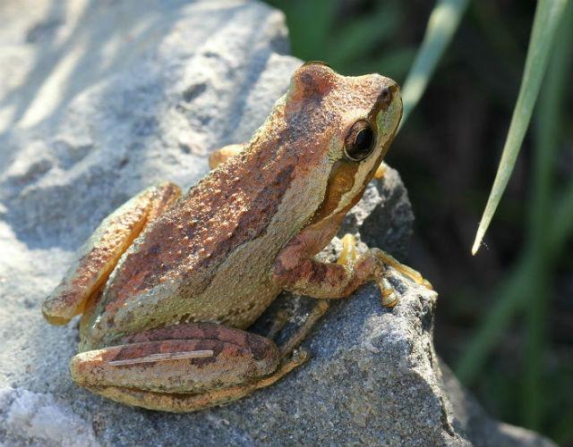 sierran treefrog 20047