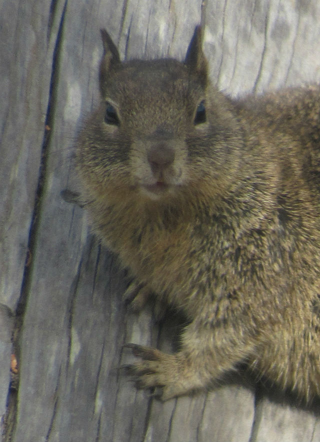 California Ground Squirrel_2731