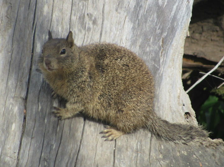 California Ground Squirrel_2732