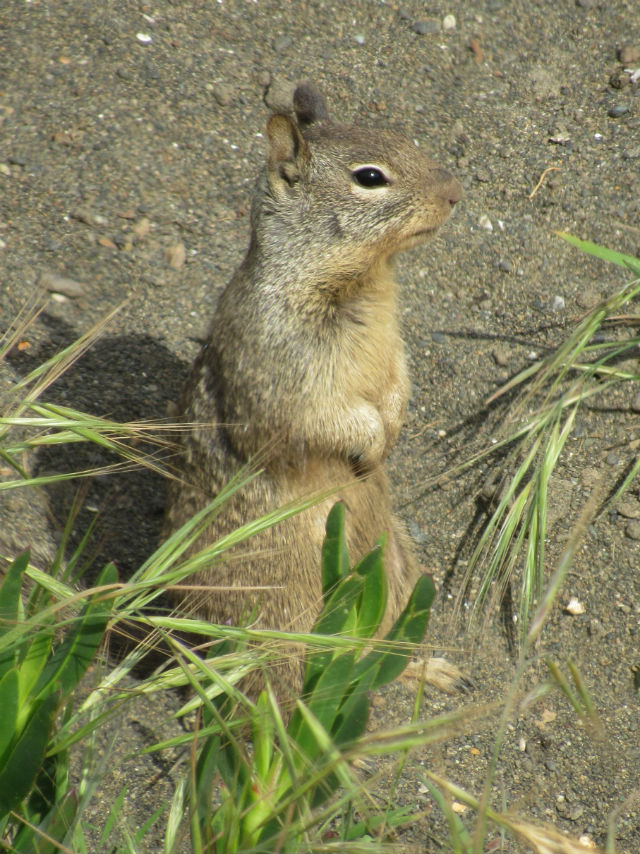 California Ground Squirrel_2744