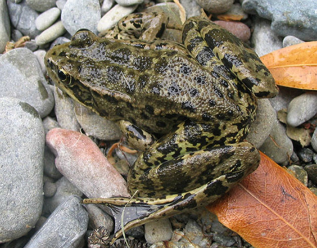 California Red-legged Frog 2007