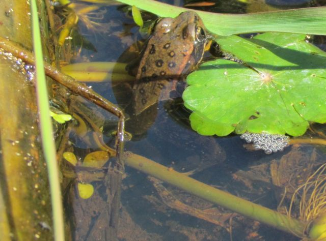 California Red-legged Frog_2380