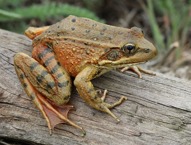 California Red-legged Frog_9317