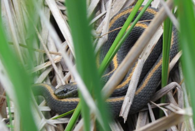 Santa Cruz Garter Snake 1679