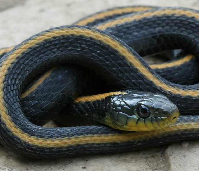 Santa Cruz Garter Snake 223