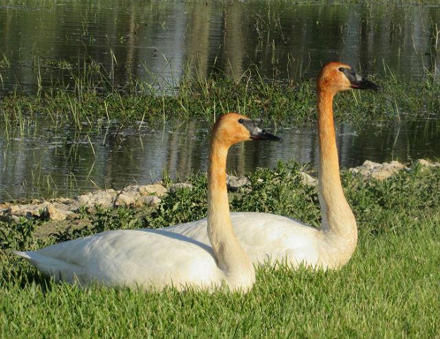 swans_4866