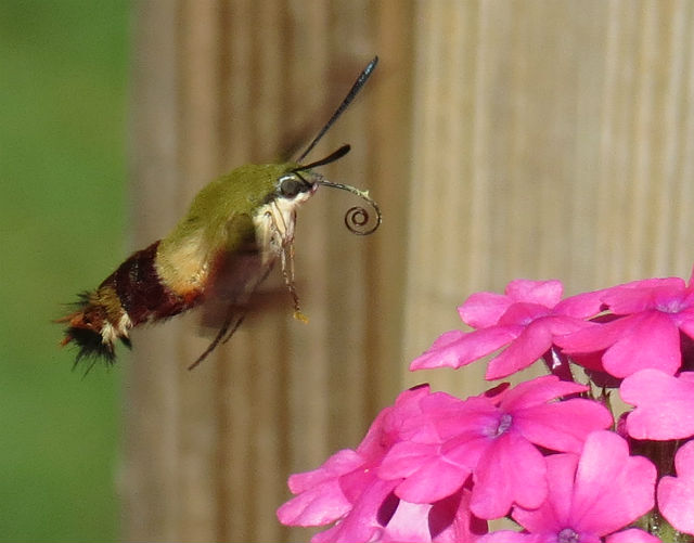 01 hummingbird moth_4284