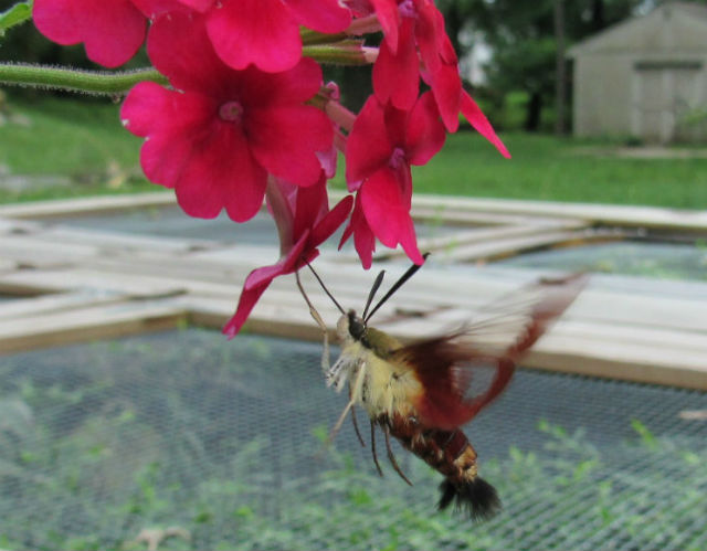 02 hummingbird moth_6433