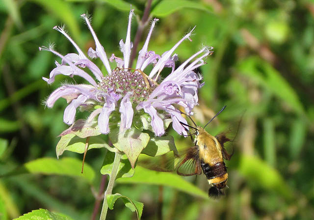 04 Hummingbird Moth_2382