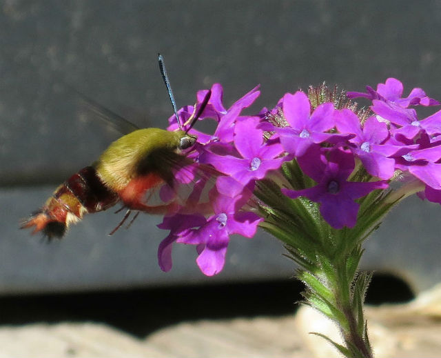 05 hummingbird moth_4294