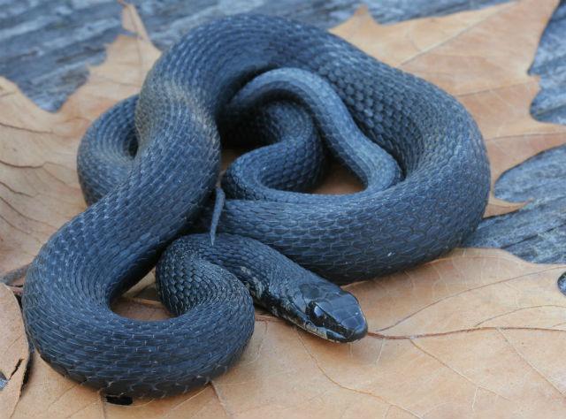 Melanistic Eastern Garter Snake_8750