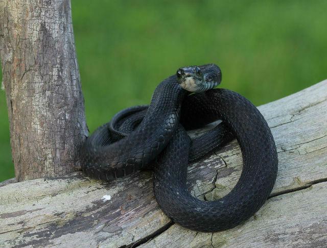 melanistic eastern garter snake 11