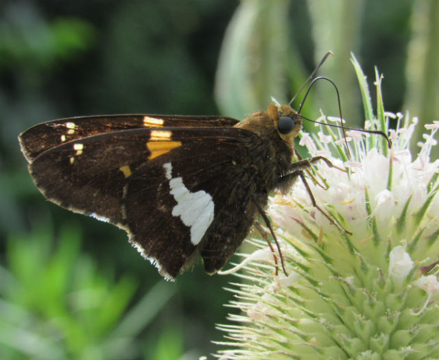Silver-spotted Skipper_7584