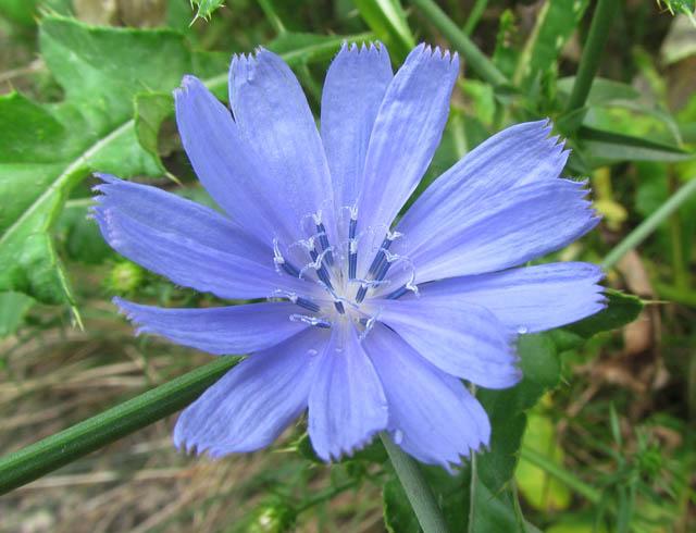 Chicory 028