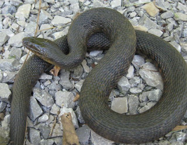 Mississippi Green Water Snake 086