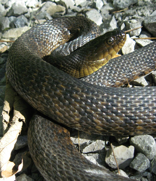 Mississippi Green Water Snake 100