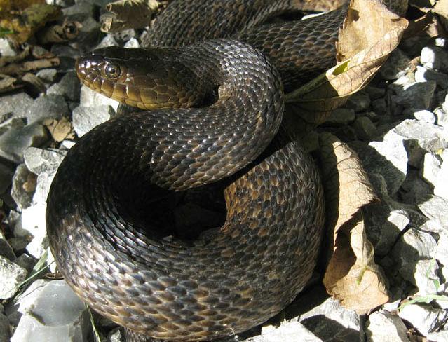 Mississippi Green Water Snake 2