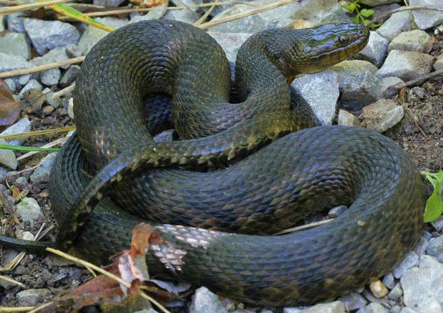 Mississippi Green Water Snake_1903