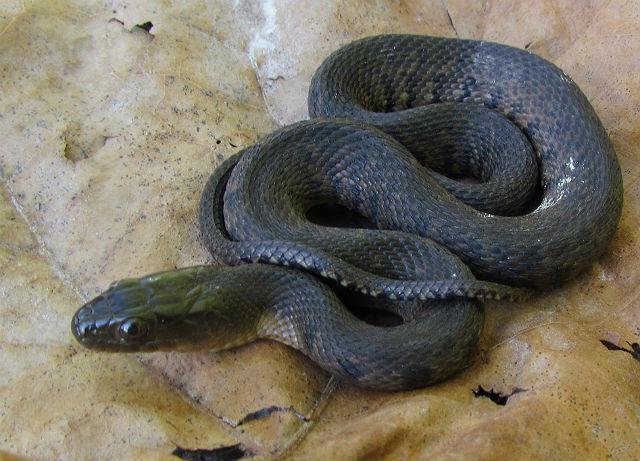 Mississippi Green Water Snake_6991