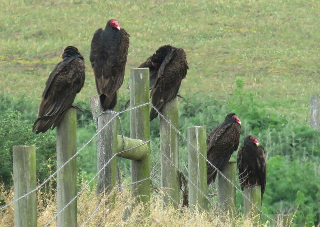 Turkey Vulture_0865