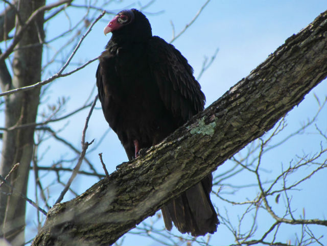 Turkey Vulture_2334