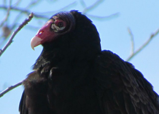 Turkey Vulture_2334a