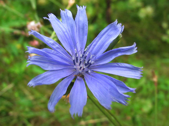 chickory_09 026