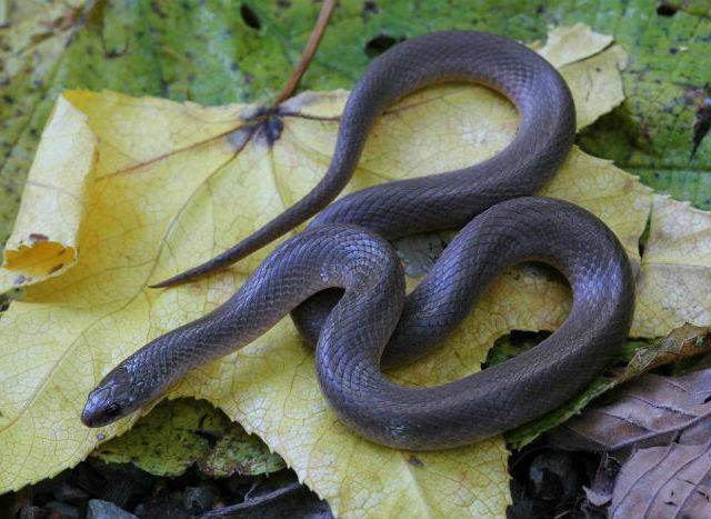 Smooth Earth Snake 040